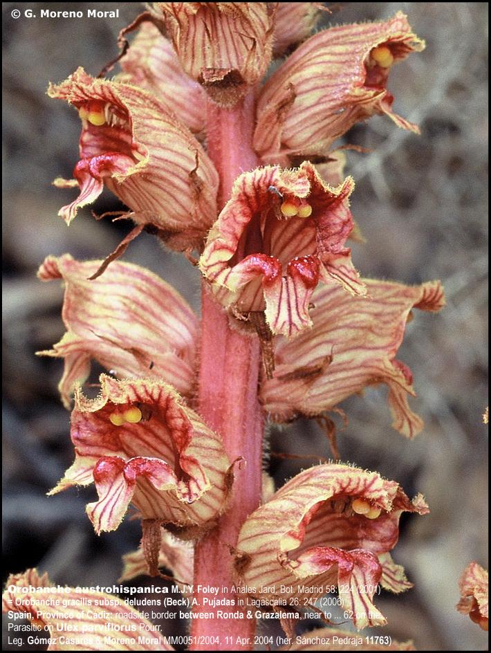 Orobanche austrohispanica grupo bot nico cant brico for Anales del jardin botanico